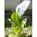 Sementes de Tabaco ALIDA  (+500) nicotiana tabacum
