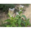 Pennsylvania Red Tobacco Seeds (+500) nicotiana tabacum