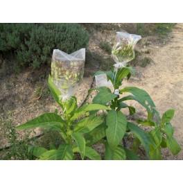 Pennsylvania Red tutun semințe  (+500) nicotiana tabacum