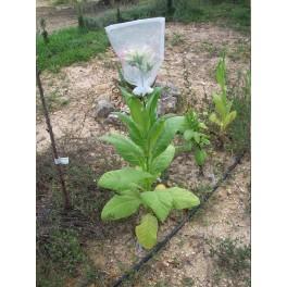 Shirey Tabaksamen  (+500) nicotiana tabacum