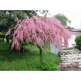 zaden tamarinde  (Tamarindus indica)