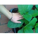 sementes do tabaco Virginia Dark (+500) nicotiana tabacum
