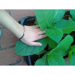 sementes do tabaco Virginia Dark (+500) nicotiana tabacum
