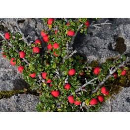 Gayuba Arctostaphylos uva-ursi 40 semillas