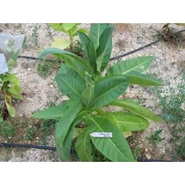Sementes de Tabaco Bolivian Black (+500) nicotiana tabacum