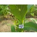 Semillas de tabaco Criollo 98  (+500) nicotiana tabacum