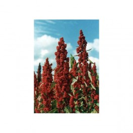 Quinoa, quinua 200 gr  семена (Chenopodium quinoa)