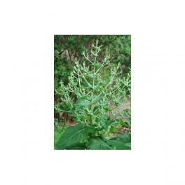 Chía / Salvia hispanica - 200 semillas