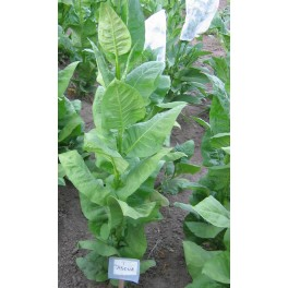 Graines de tabac Tasoua (+500) nicotiana tabacum
