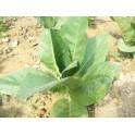 Sementes do tabaco Burley TN90 (+500) nicotiana tabacum