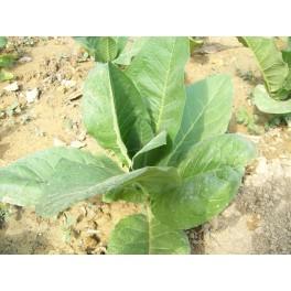 Семена табака Берли TN90 (+500) nicotiana tabacum