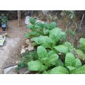 sementes do tabaco Adonis (+500) nicotiana tabacum