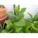 Tabak zaden Hacienda del cura (+500) nicotiana tabacum