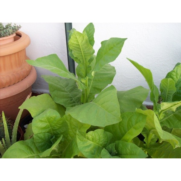 graines de tabac hacienda del cura 500 nicotiana tabacum virginia seeds. Black Bedroom Furniture Sets. Home Design Ideas