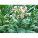 sementes de tabaco oriental IZMIR (+500) nicotiana tabacum