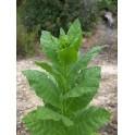 Sementes do tabaco Oriental basma (+500) nicotiana tabacum