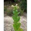 Semillas de tabaco oriental SANSOUN (+500) nicotiana tabacum