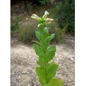 Semințe de tutun oriental Sansoun (+500) nicotiana tabacum