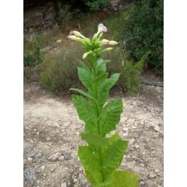 Семена табака восточных Sansoun (+500) nicotiana tabacum