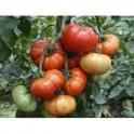 MARMADE Graines de tomates  - Solanum lycopersicum