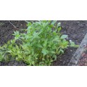 Leușteanul semințe  - Levisticum officinale