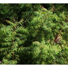 semillas de neem  (Azadirachta indica)