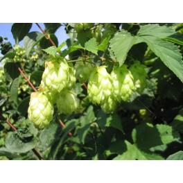 Humulus lupulus - semillas de lupulo