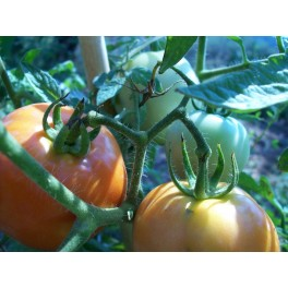 3 cantos tomato seeds (heirloom organic seeds) - Solanum lycopersicum