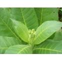 Sementes de Tabaco Virginia Gold (+500) nicotiana tabacum