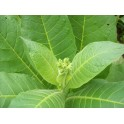 Virginia Gold Tobacco Seeds (+500) nicotiana tabacum