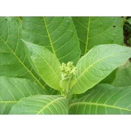 Semillas de tabaco Virginia Gold (+500) nicotiana tabacum