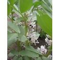 Vicia faba - Боб садовый семян