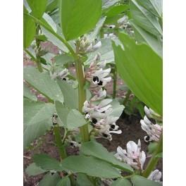 Vicia faba - Tuinboon zaden
