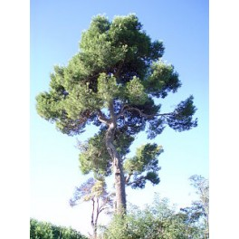 Pinus halepensis 10gr. Semi