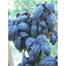 Albahaca morada Ocimum basilicum semillas
