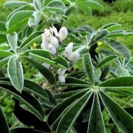 Lupinus albus L. Altramuz semillas