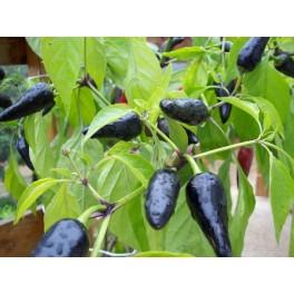 chile negro Semillas - capsicum annumm