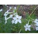 Nicotiana affinis jasmijn tabak zaden
