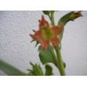 Nicotiana glutinosa семян