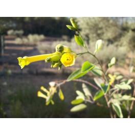 Blaugrüne Tabak (Nicotiana glauca) samen