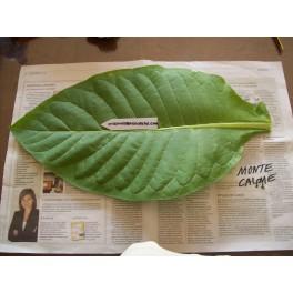 Sementes de Tabaco Monte Calme Yellow  (+500) nicotiana tabacum