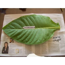 snuiftabak zaden Monte Calme yellow(+500) nicotiana tabacum