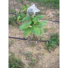 Semillas de tabaco BAIANO (+500) nicotiana tabacum