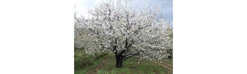 Sementes e árvores bonsai