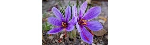 Saffron corms