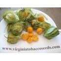 uciuva Physalis peruviana 200 semi