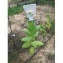Shirey Sementes de Tabaco (+500) nicotiana tabacum
