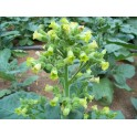 Nicotiana Rustica sementes de tabaco (+500) nicotiana rustica