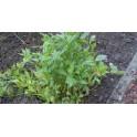 Leustean semillas apio de monte - Levisticum officinale