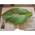 MONTE CALME YELLOW Tobacco Seeds (+500) nicotiana tabacum